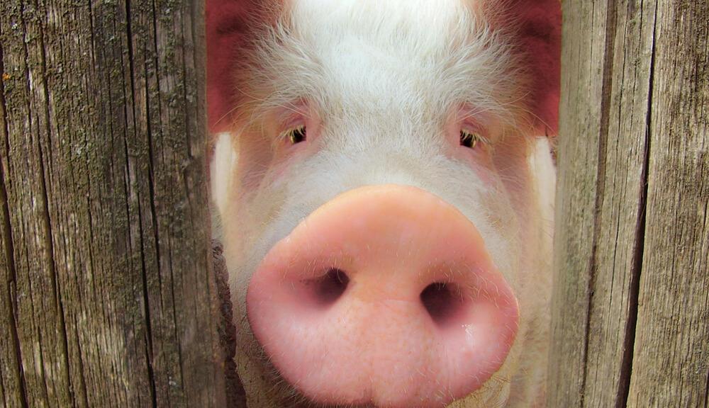 Самарская область cейчас  является благополучной поафриканской чуме свиней